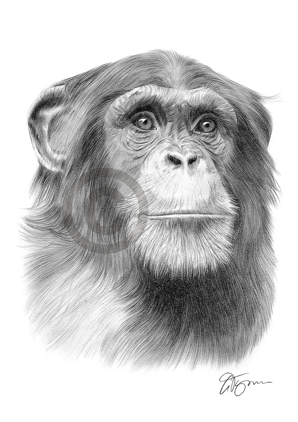 Pencil drawing of a Chimpanzee by artist Gary Tymon
