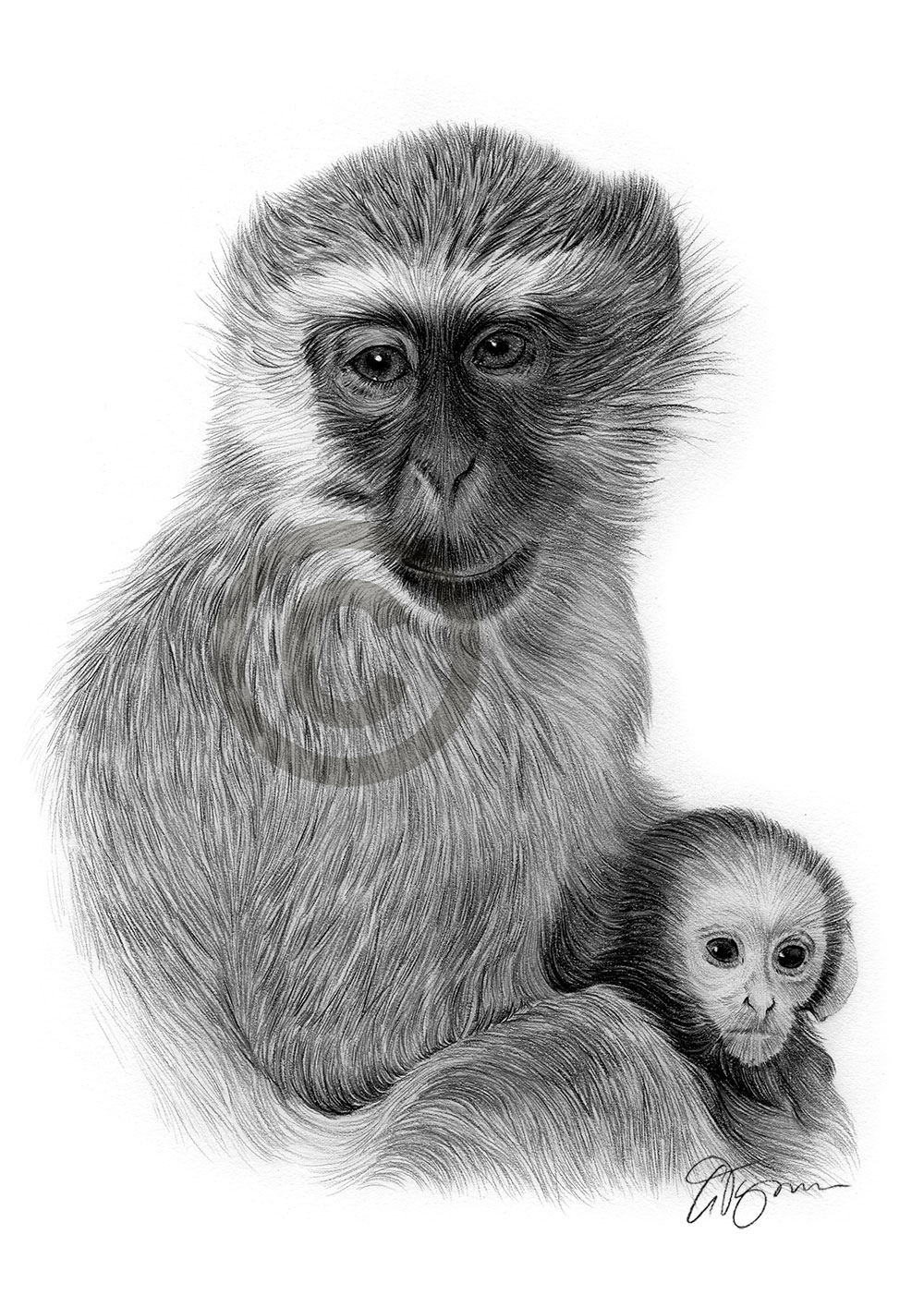Vervet monkey and baby pencil drawing by artist Gary Tymon