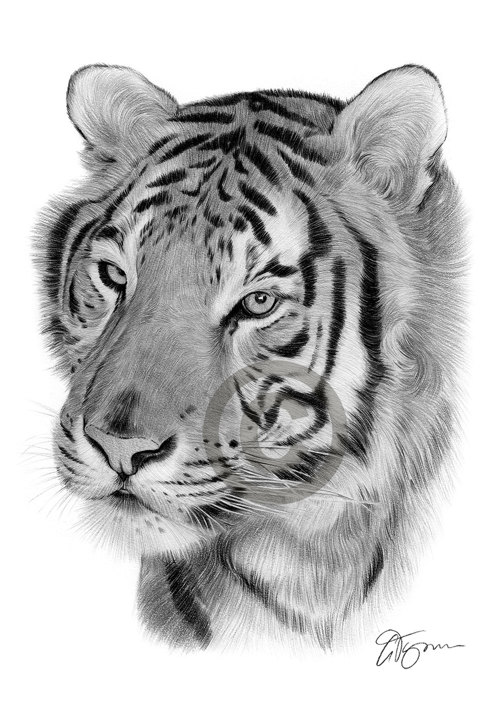 Adult Bengal Tiger pencil drawing by artist Gary Tymon