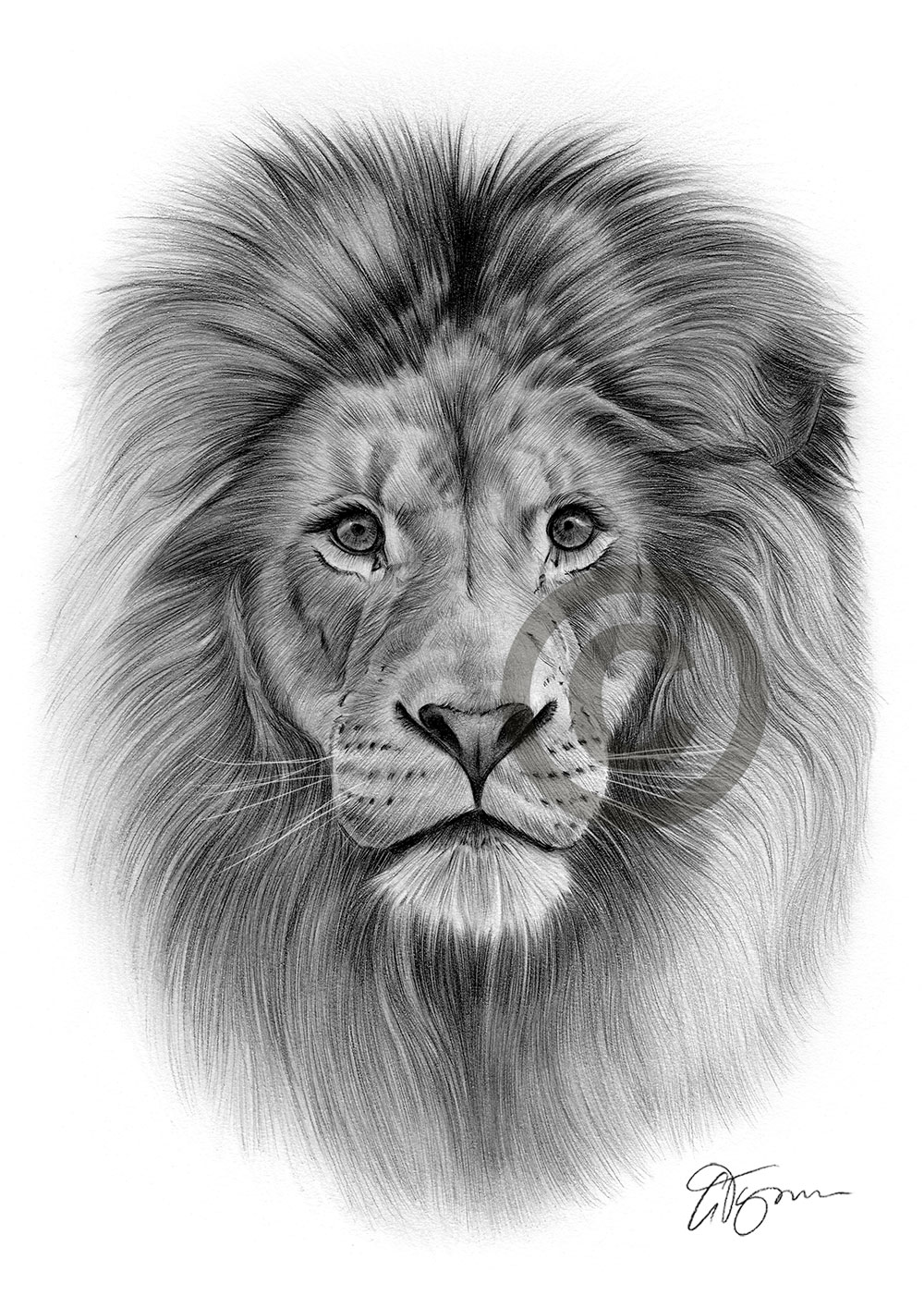Pencil drawing of a African adult Lion by artist Gary Tymon