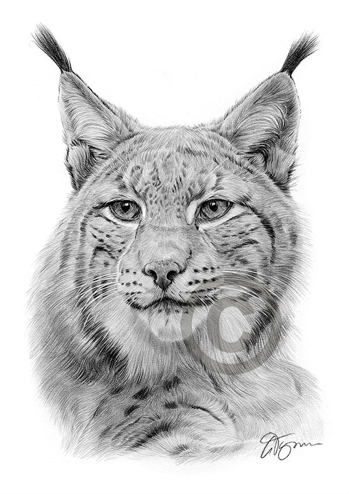 Pencil drawing of a Lynx