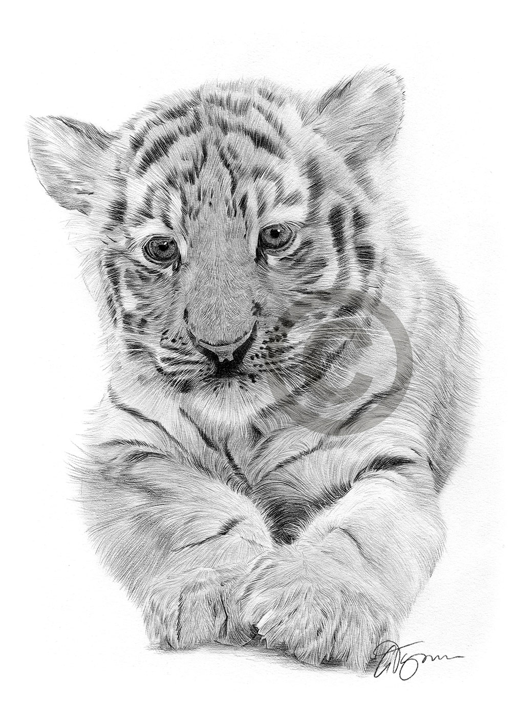 BENGAL TIGER CUB pencil drawing art print A3 / A4 sizes ...