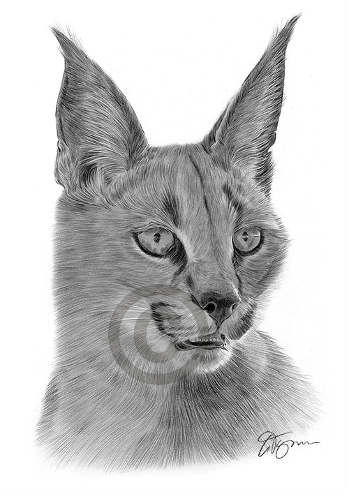 Caracal Pencil Drawing by