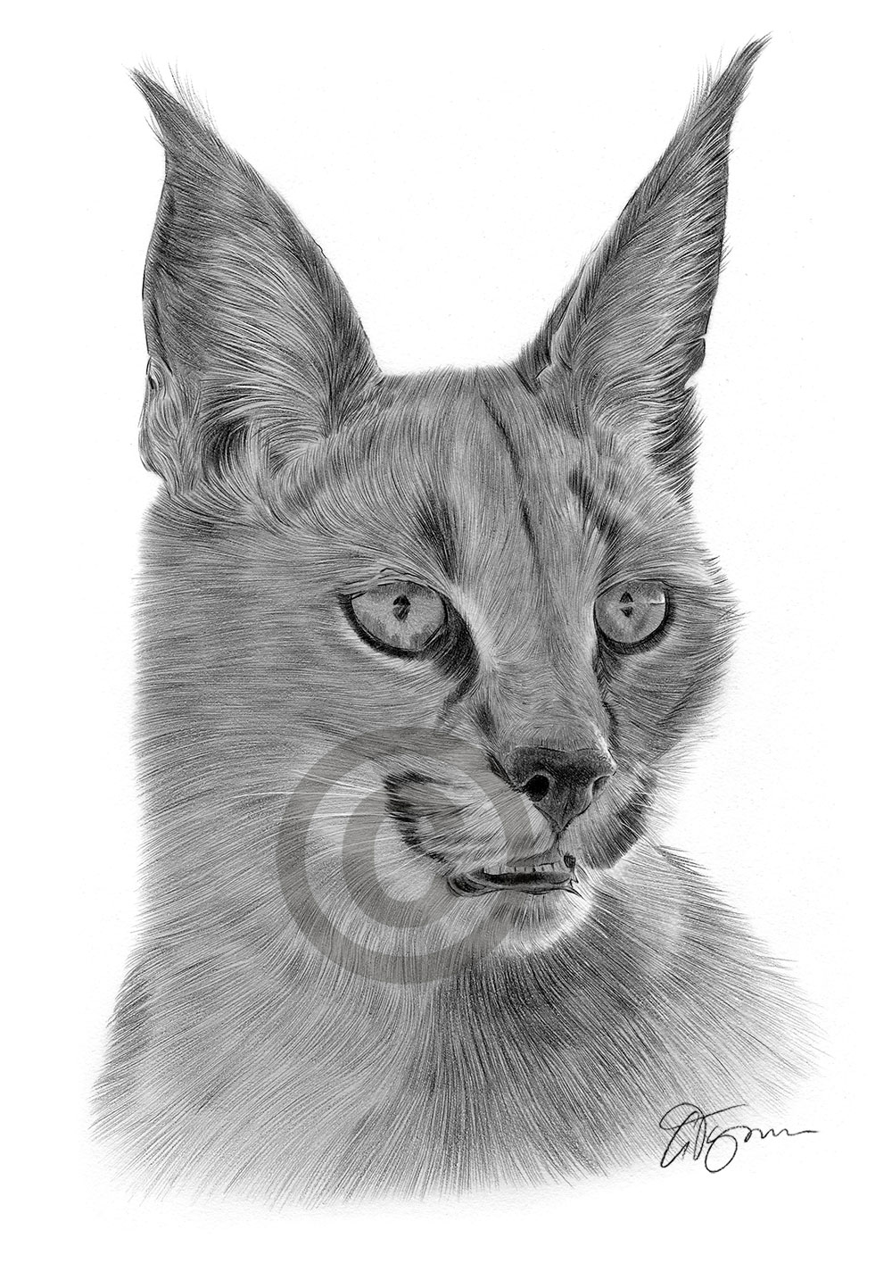 Caracal drawing - photo#19