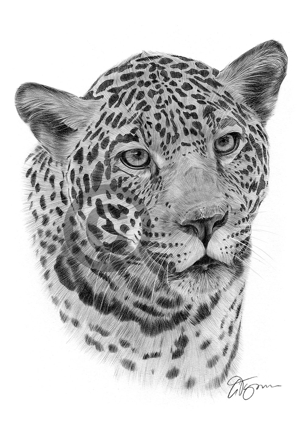 jaguar pencil drawing by artist gary tymon