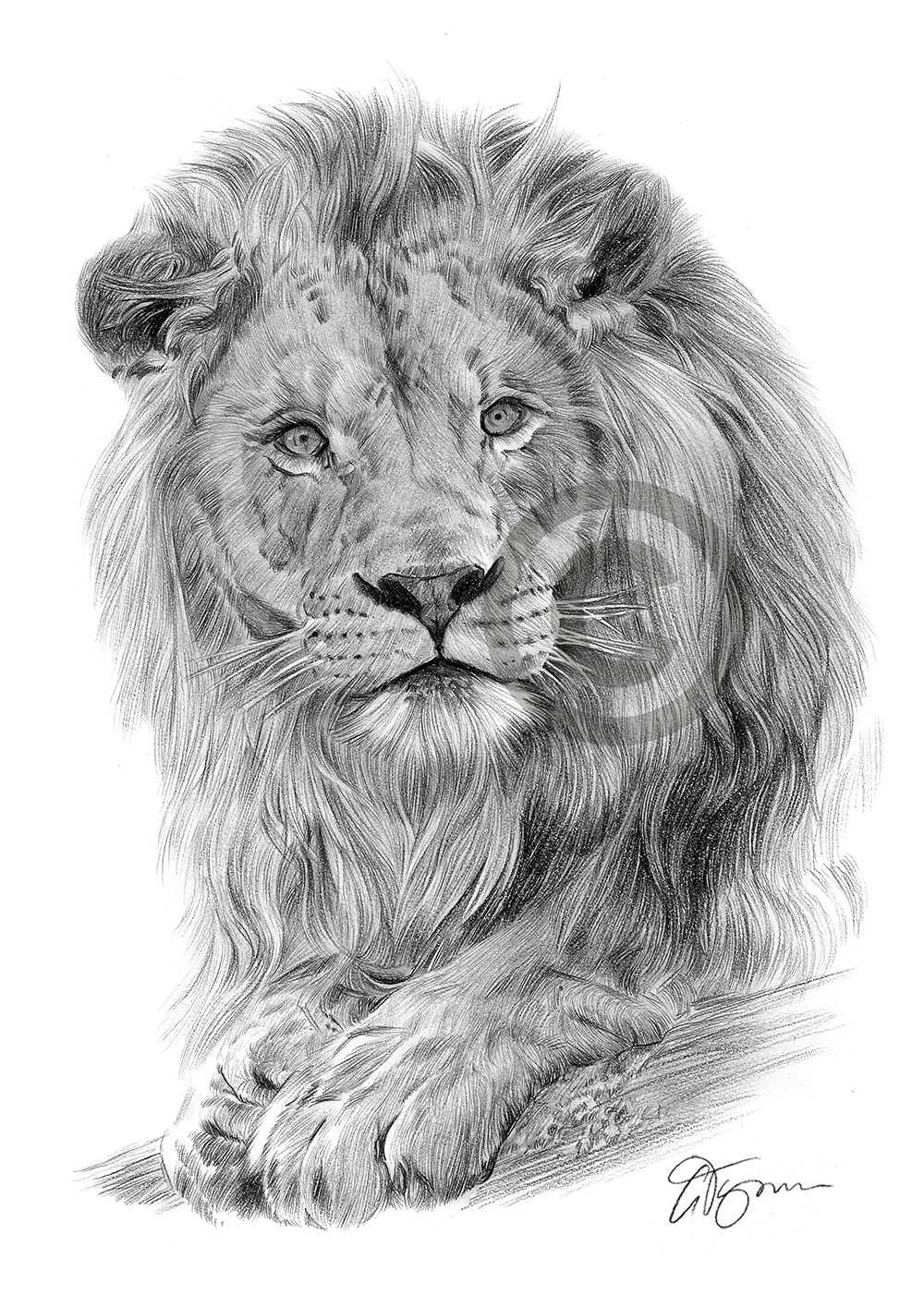 Lion pencil drawing by artist gary tymon