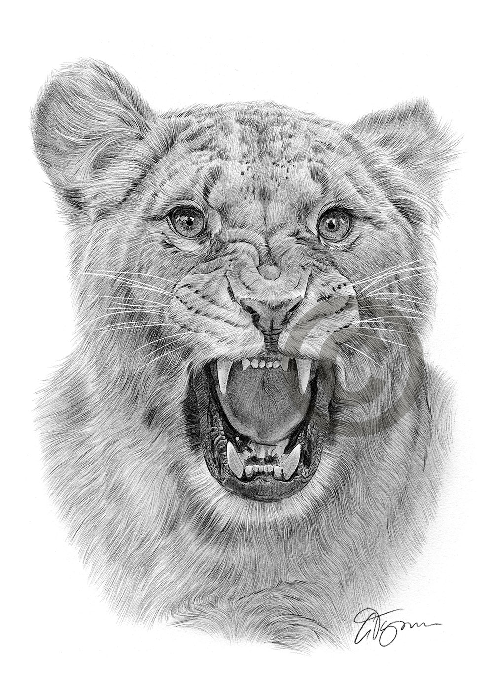 Gallery For > Lioness Drawings In Pencil Queen Lioness Drawing
