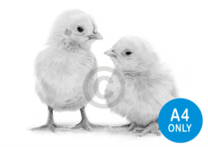 Pencil drawing of a pair of young chicks