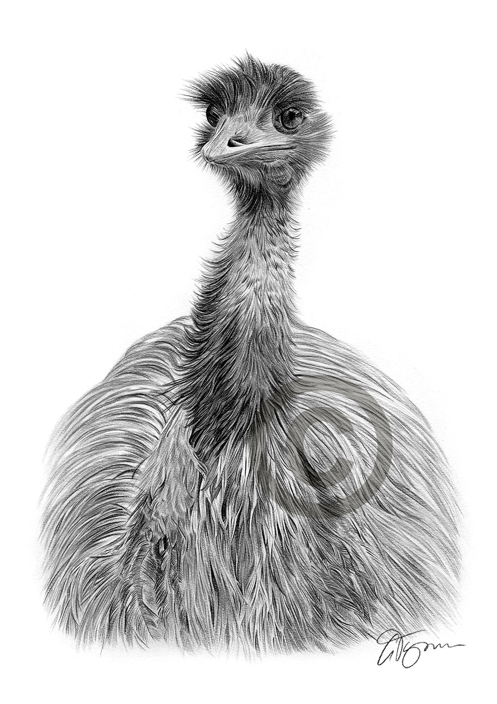 An emu pencil drawing by artist Gary Tymon