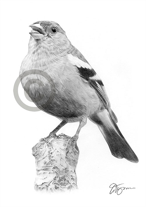 Chaffinch pencil drawing thumbnail