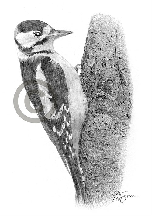 Great Spotted Woodpecker pencil drawing thumbnail