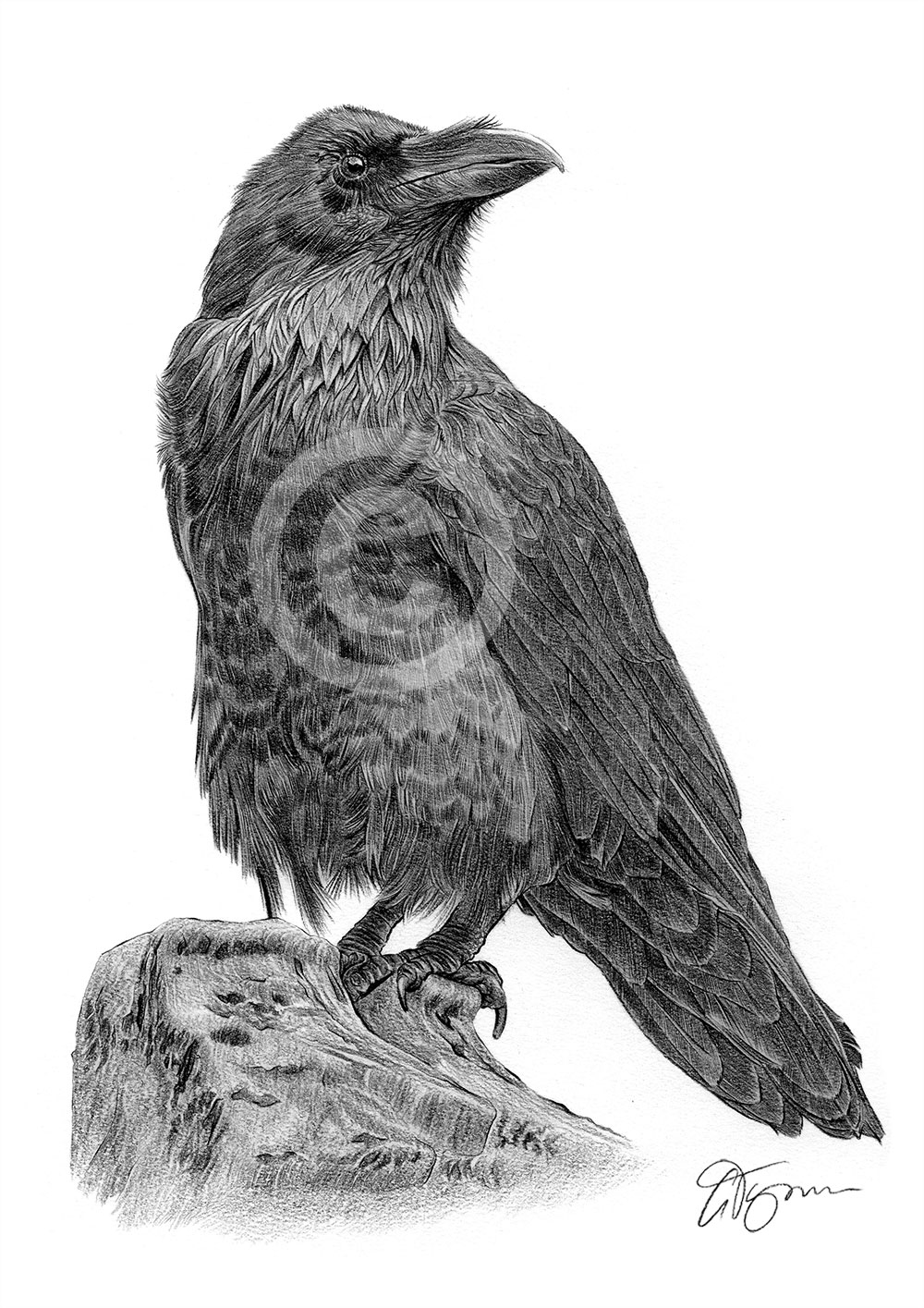 Raven pencil drawing by artist Gary Tymon