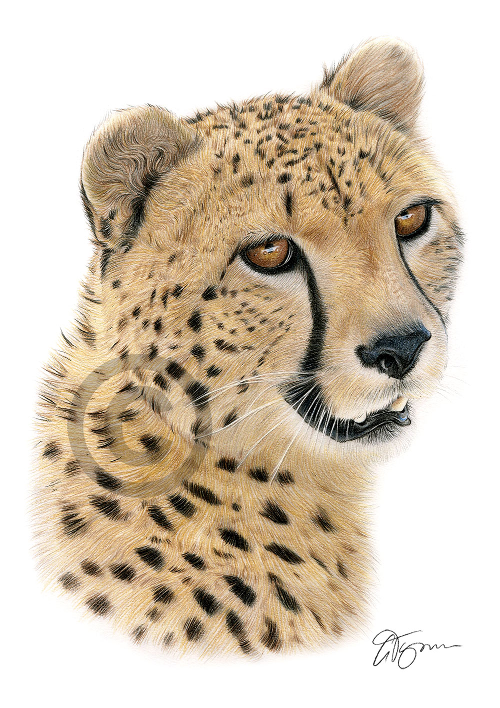 Cheetah colour pencil drawing by artist Gary Tymon