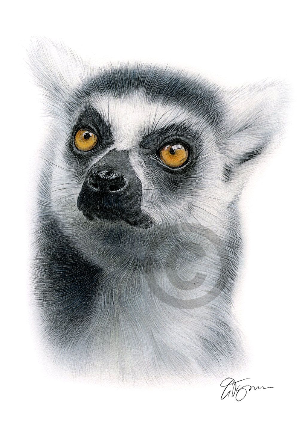Ring-Tailed Lemur colour pencil drawing by artist Gary Tymon