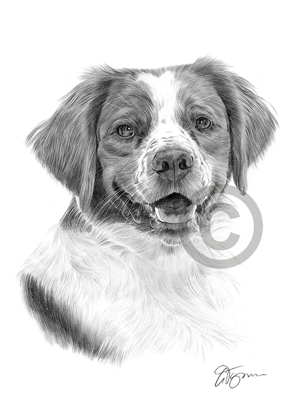 Pencil Drawing Of A Brittany Spaniel By Artist Gary Tymon