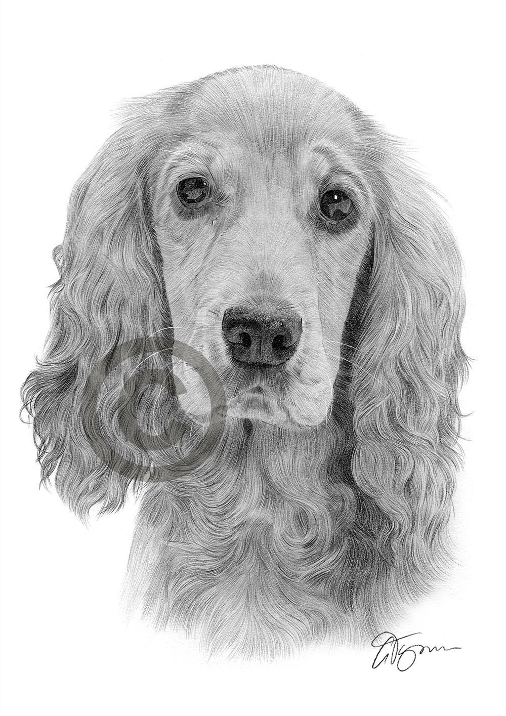 Pencil Drawing Of An Adult Cocker Spaniel By Artist Gary Tymon