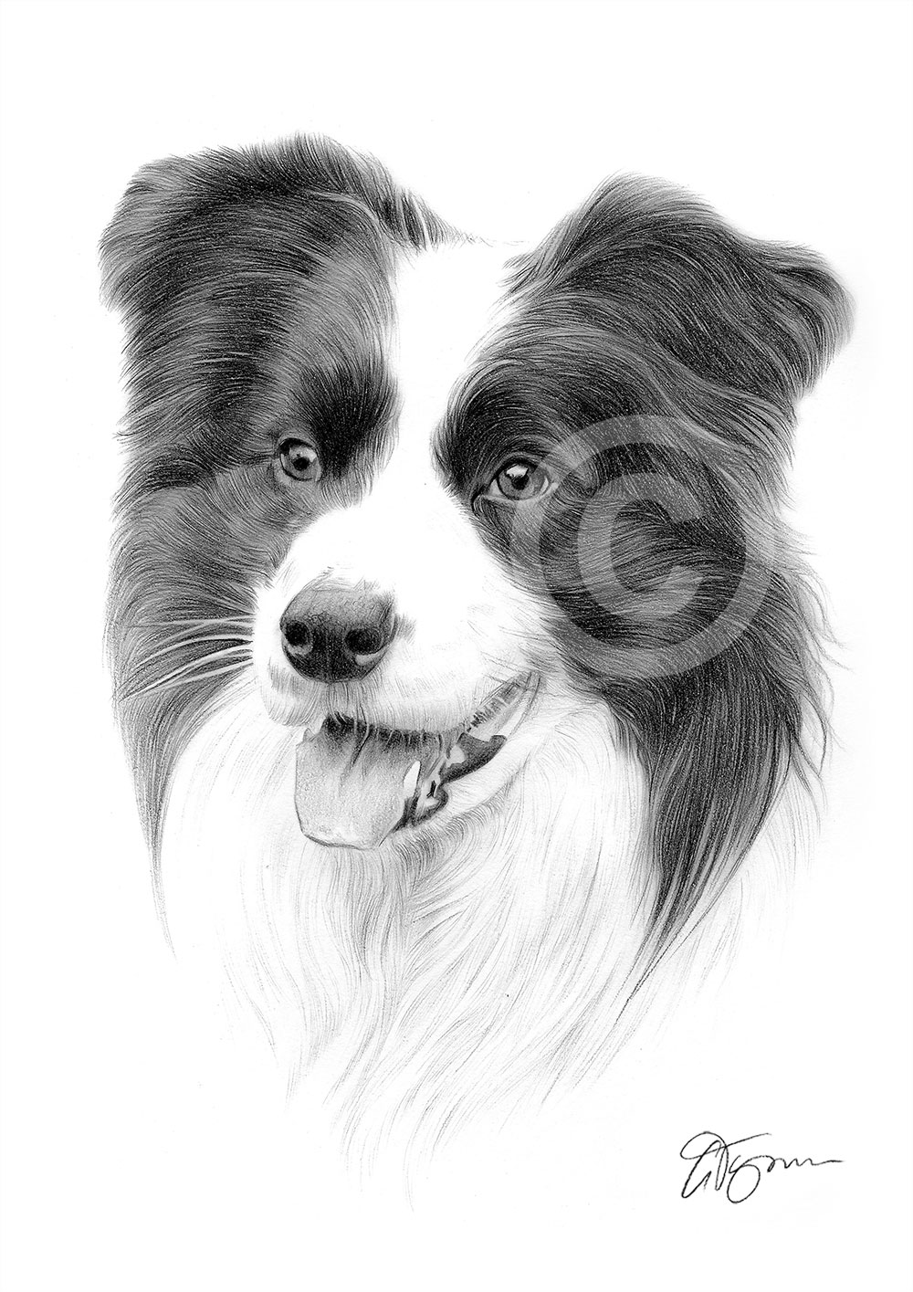 border collie dog pencil drawing thumbnail
