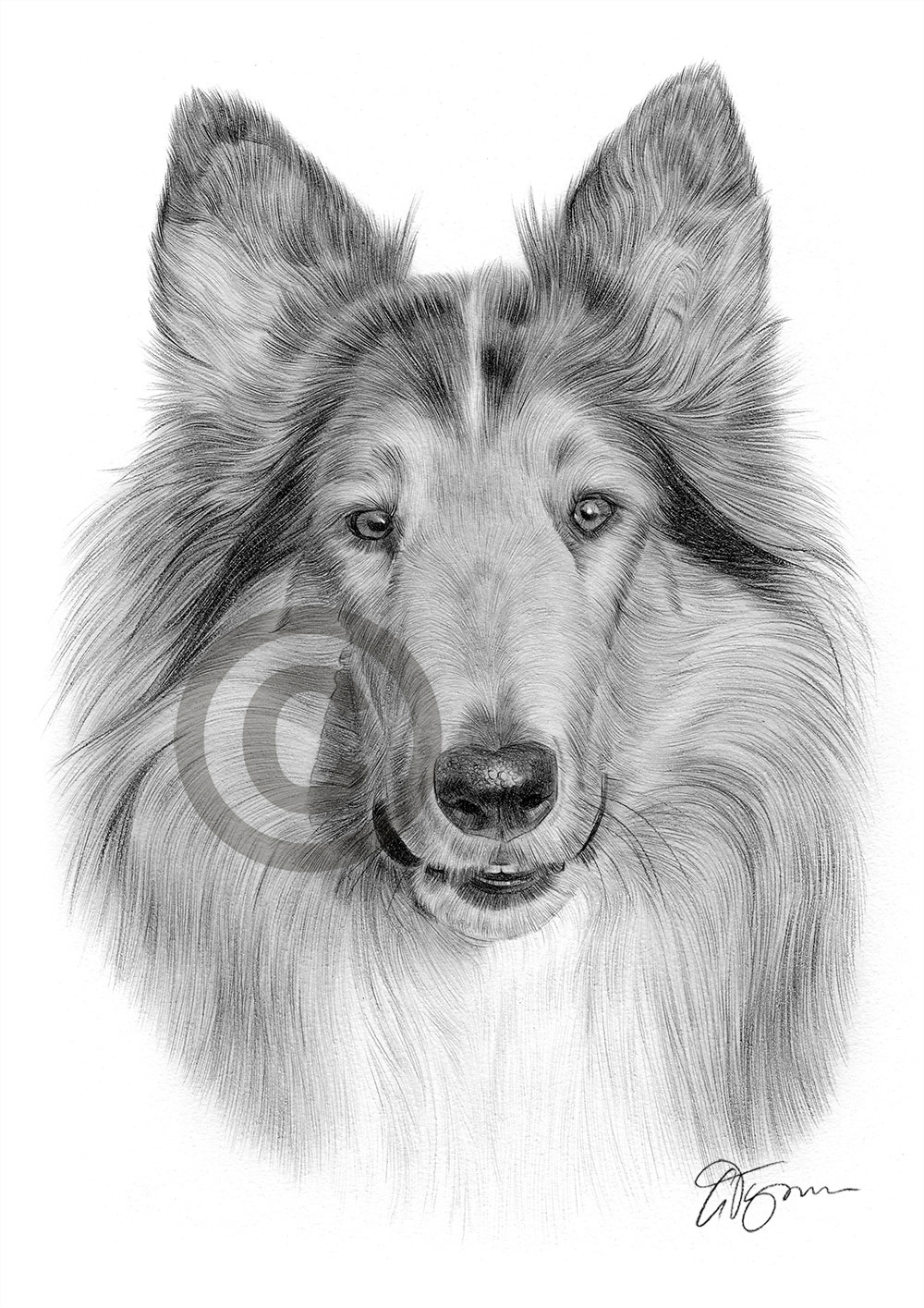 Adult Rough Collie pencil drawing by artist Gary Tymon