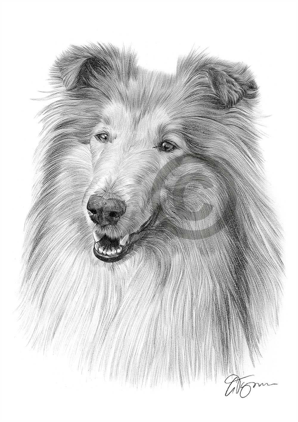 Rough Collie pencil drawing by artist Gary Tymon