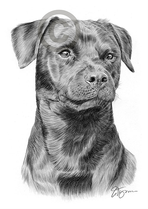 Adult Patterdale Terrier dog pencil drawing thumbnail
