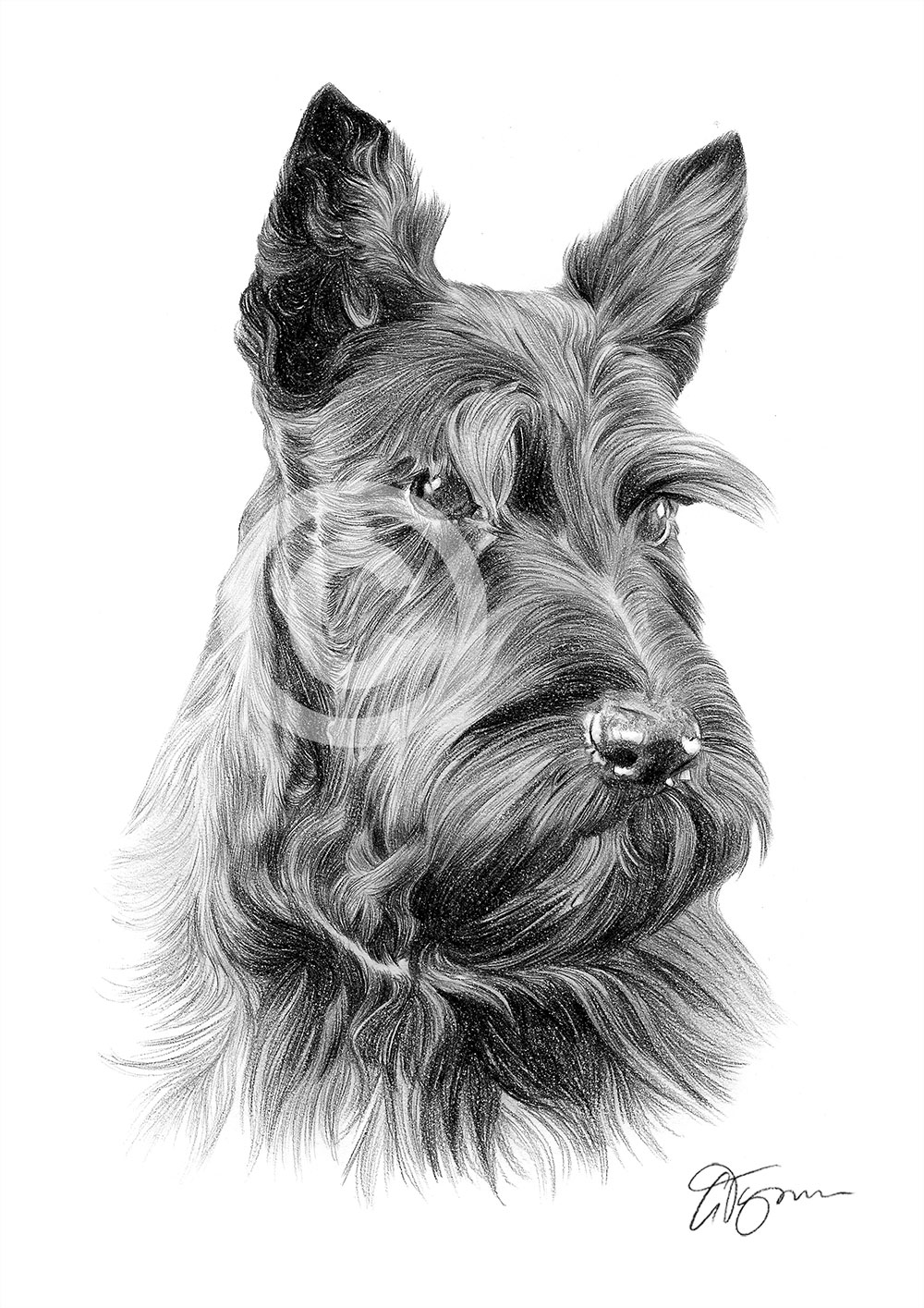 Pencil Drawing Of An Adult Scottish Terrier By Artist Gary Tymon