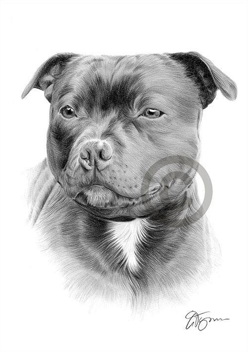 Staffordshire Bull Terrier dog pencil drawing thumbnail