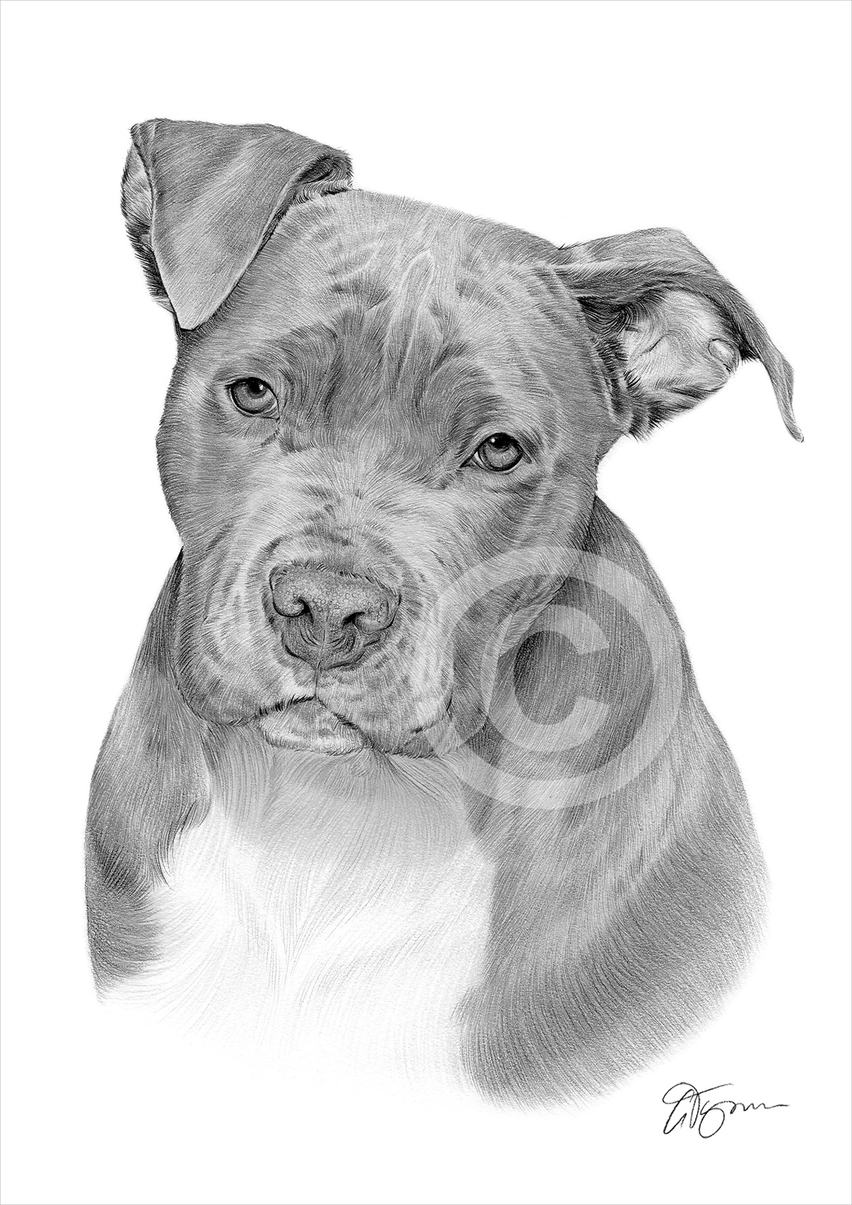 American Pit Bull Terrier pencil drawing by artist Gary Tymon