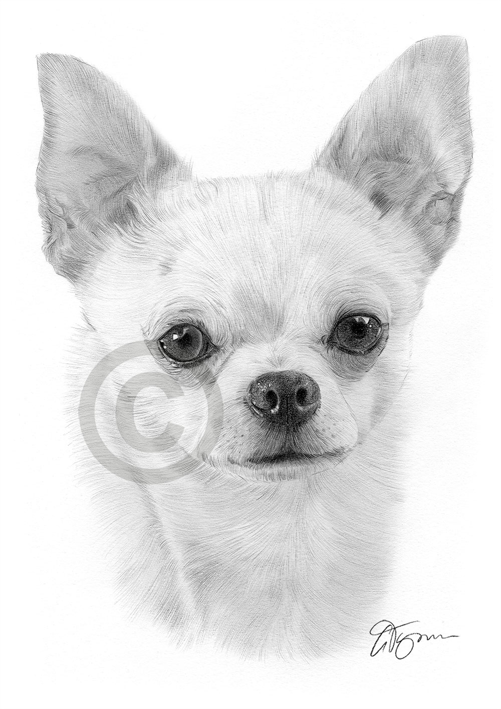 Young Chihuahua pencil drawing by artist Gary Tymon