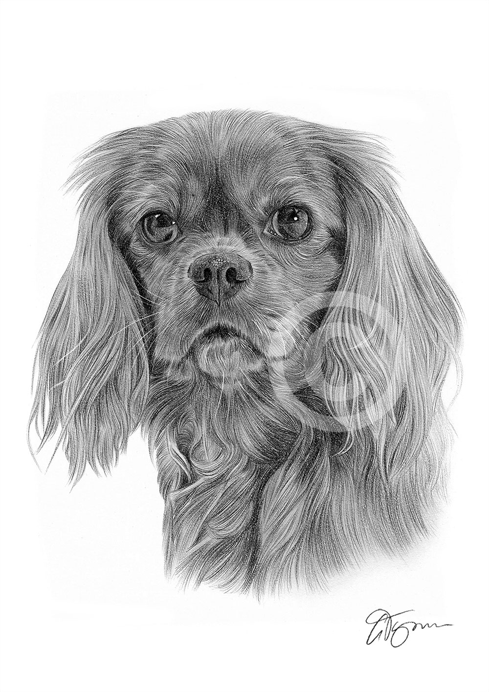 Pencil Drawing Of A King Charles Spaniel By Artist Gary Tymon