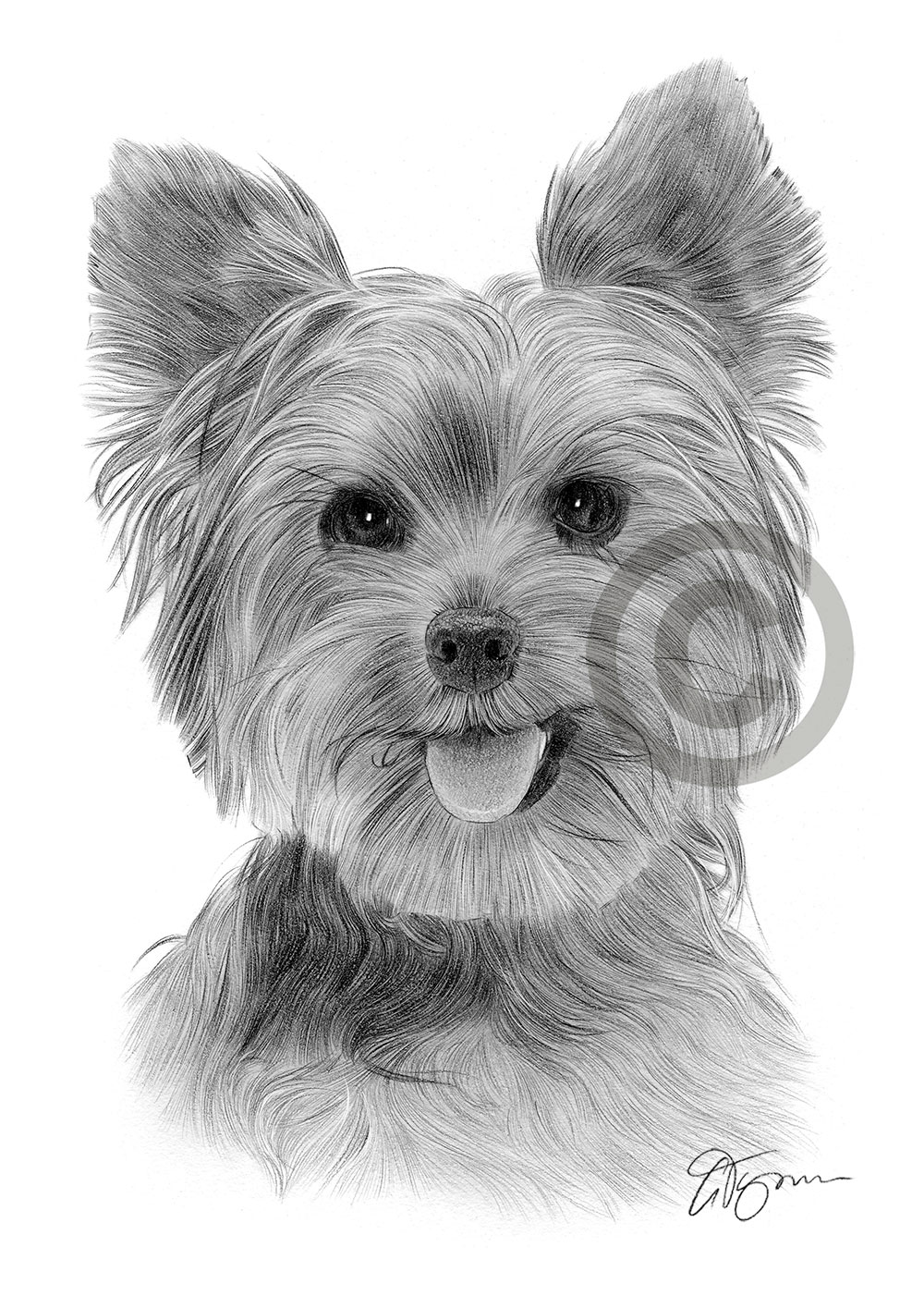 Yorkie pencil drawing by artist Gary Tymon