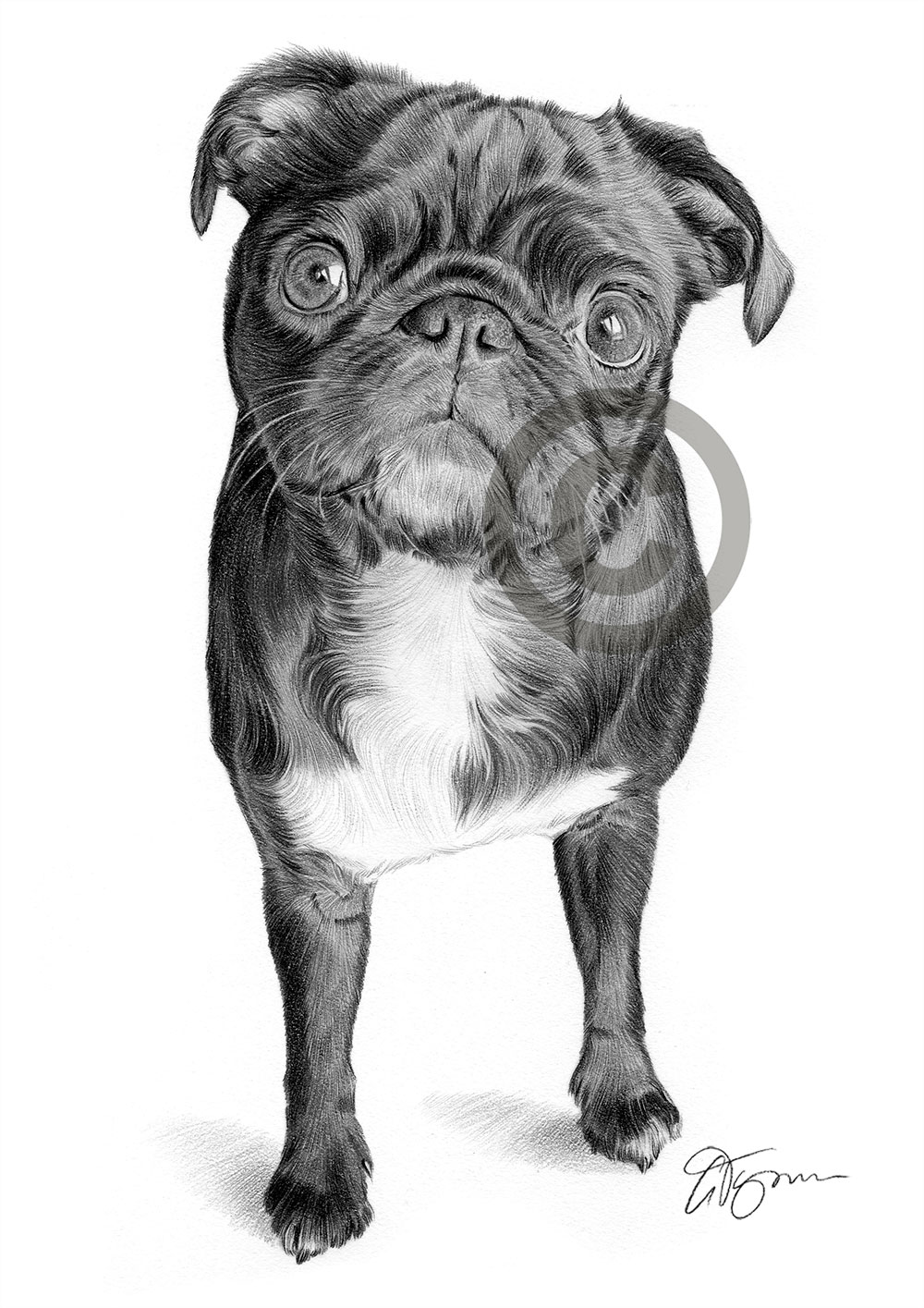 Black Pug pencil drawing by artist Gary Tymon