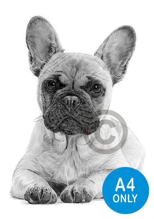 Pencil drawing of a French Bulldog