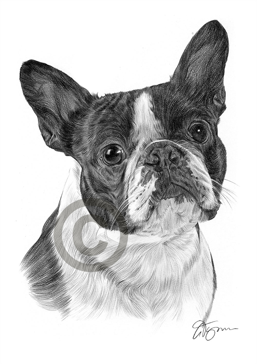 pencil drawing boston terrier pet portrait