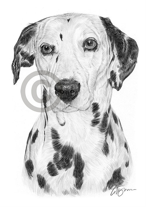 Adult Dalmation dog pencil drawing thumbnail