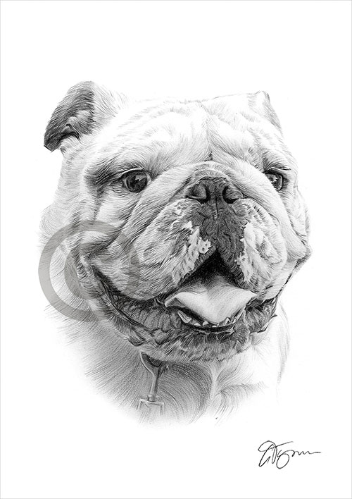 English Bulldog pencil drawing thumbnail