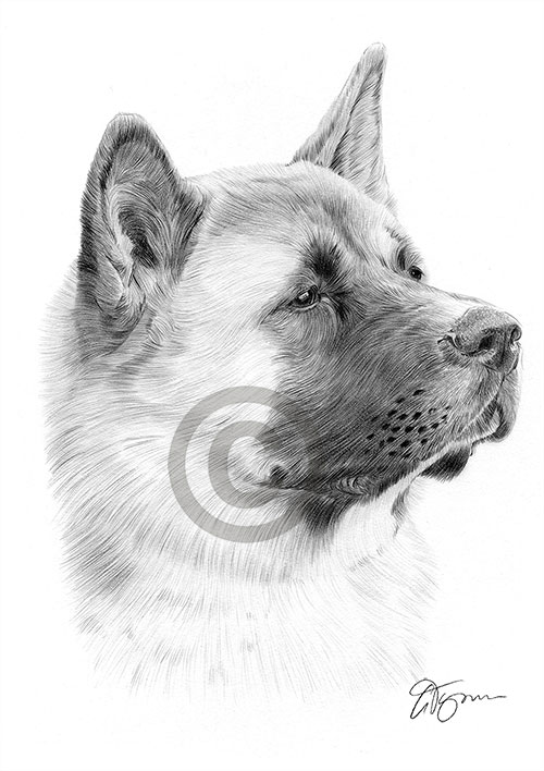 Adult Japanese Akita dog pencil drawing thumbnail