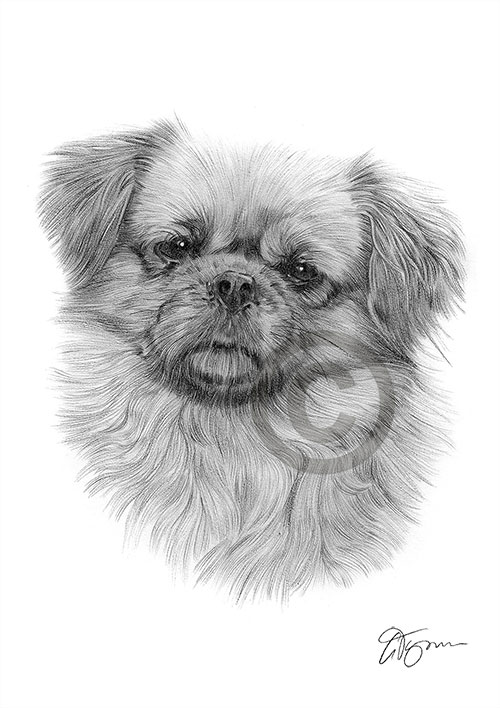 Tibetan Spaniel dog pencil drawing thumbnail