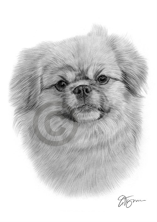 Adult Tibetan Spaniel dog pencil drawing thumbnail