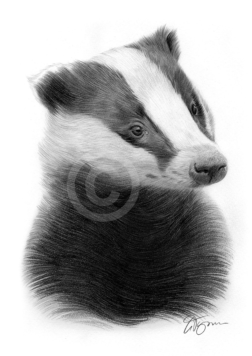 Uncategorized Badger Drawing pencil drawing of a young badger by artist gary tymon tymon