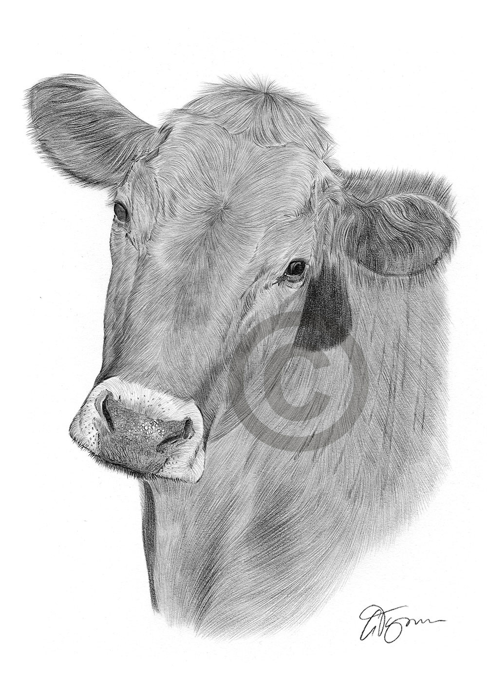 COW pencil drawing art print A4/A3 signed artwork by UK ...