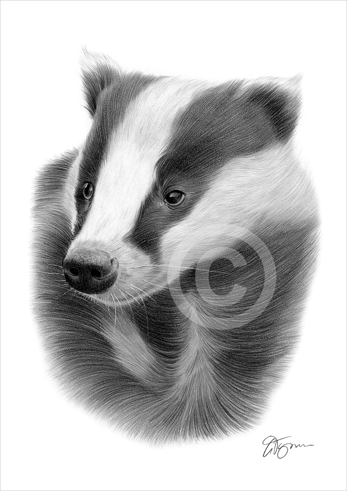 Uncategorized Badger Drawing pencil drawing of a european badger by artist gary tymon tymon