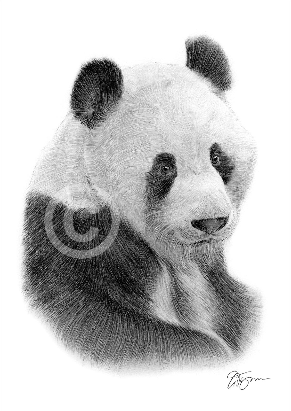 Pencil Drawing Of A Giant Panda By Artist Gary Tymon