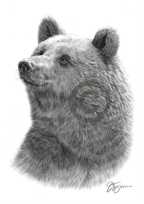 Grizzly Bear pencil drawing thumbnail