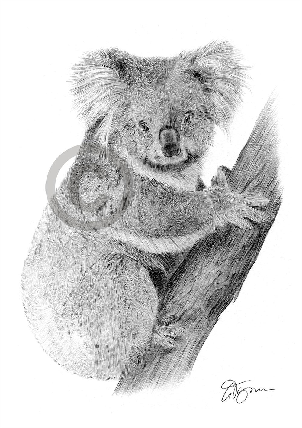 Pencil Drawing Of A Koala Bear By Artist Gary Tymon