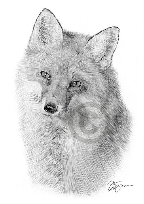 Adult Red Fox pencil drawing thumbnail