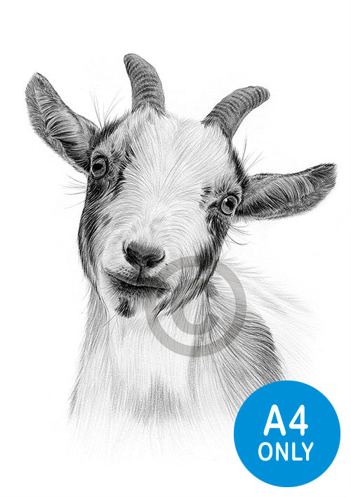 Pencil drawing of a Pygmy goat