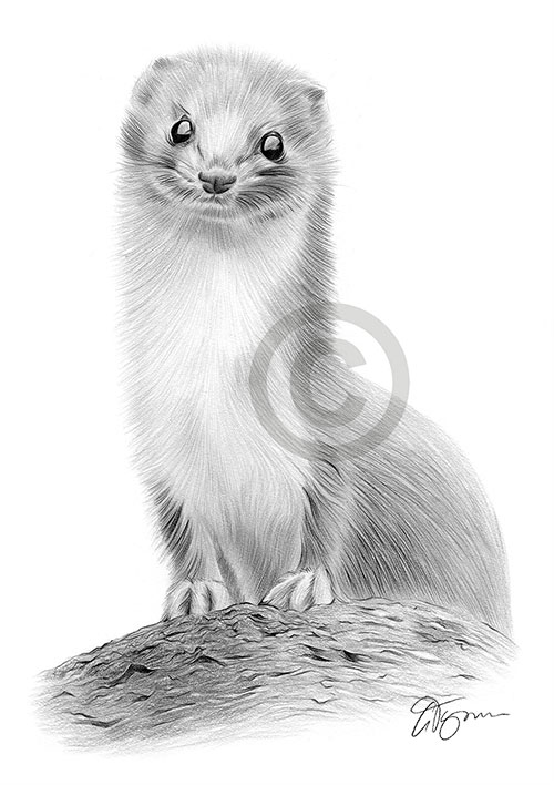 Weasel pencil drawing