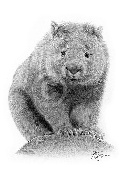 Wombat pencil drawing
