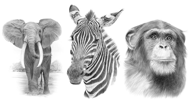 Animals Black And White Elephants 10000 Lions Big Cats: Signed Pencil Drawing Prints For Sale From