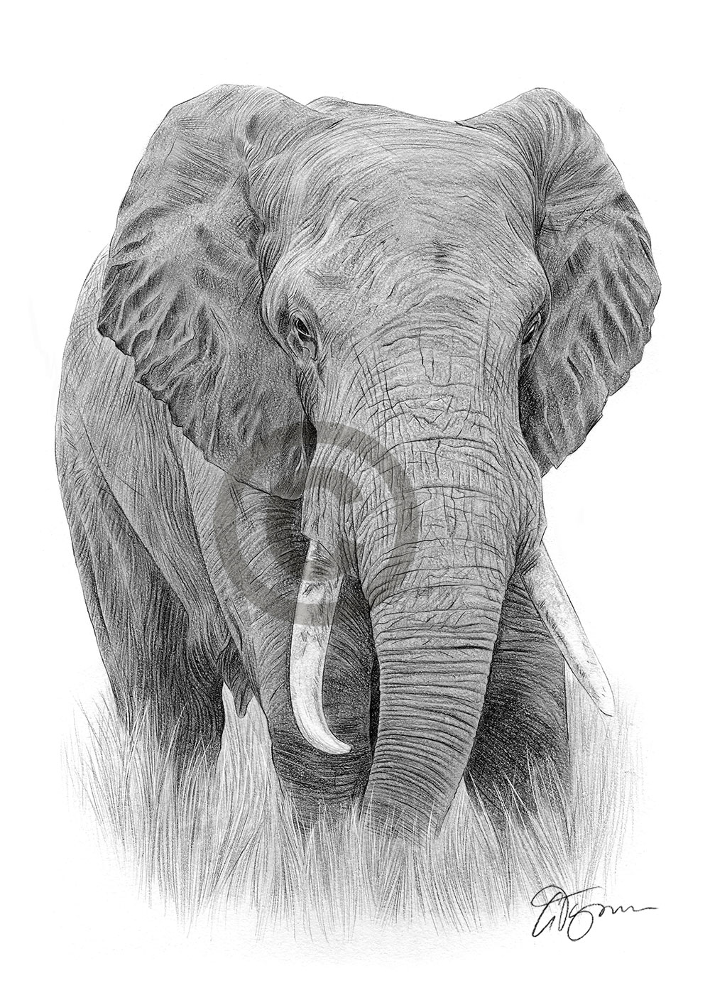 Adult elephant pencil drawing